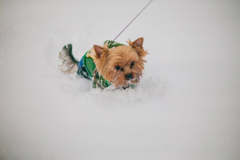 Famiglia che cammina un cane su un guinzaglio in un parco nell'inverno nella neve cura per un cane nella stagione fredda immagini stock