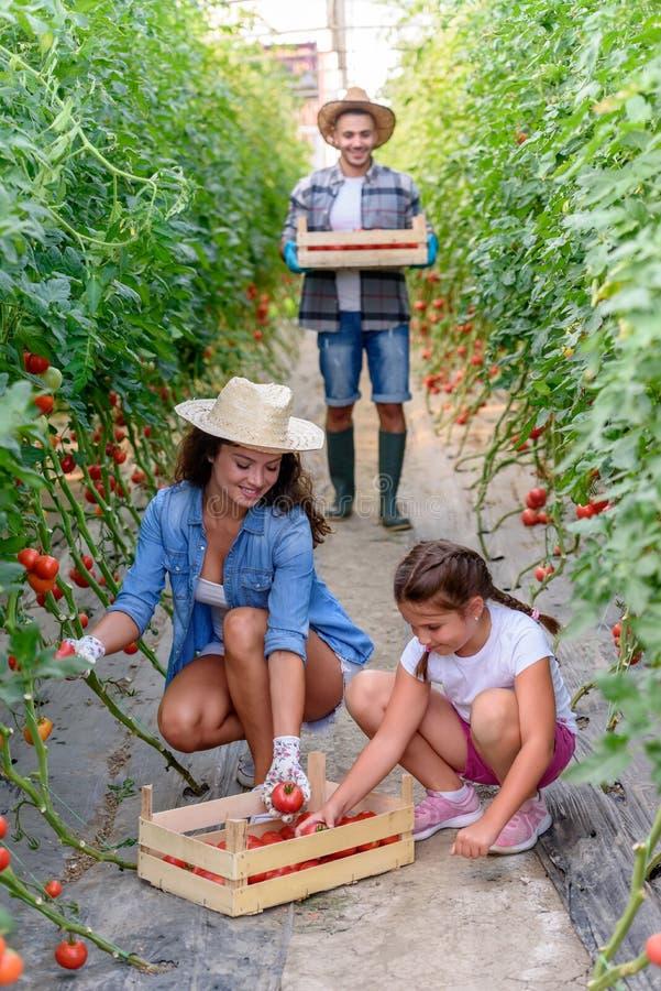 Famiglia che coltiva le verdure organiche alla serra immagine stock