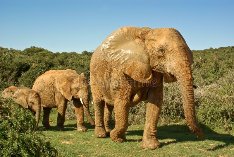 Famiglia degli elefanti africani che cammina attraverso il bushveld fotografie stock