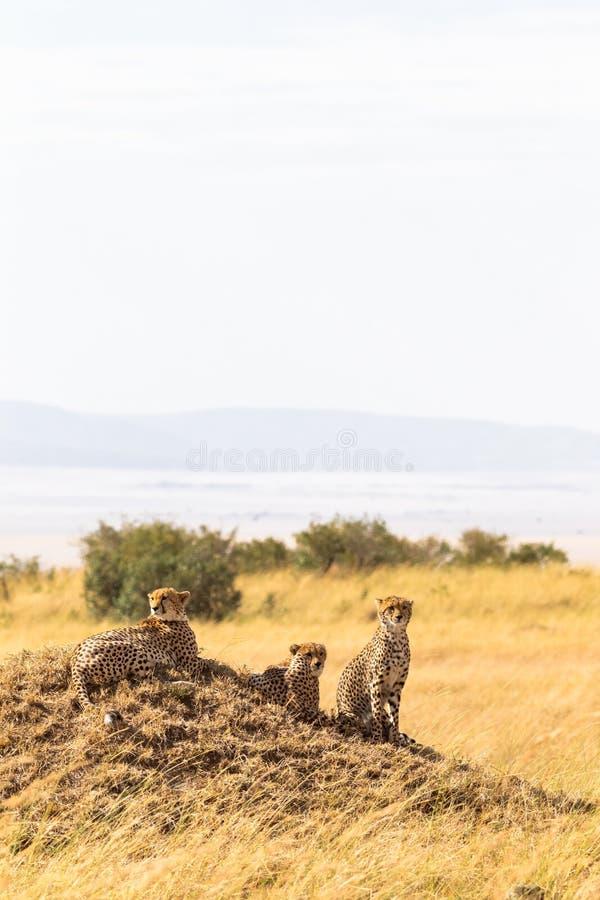 Famiglia dei ghepardi dai masai Mara Il Kenia, Africa immagine stock