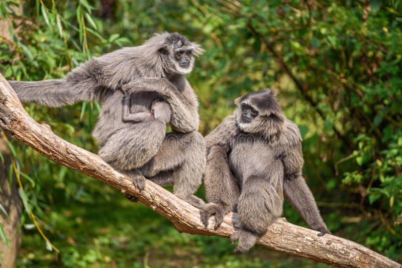 Famiglia dei gibboni argentei con un neonato immagini stock