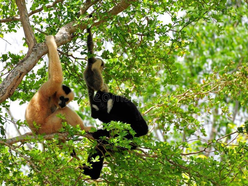 Famiglia dei gibboni bianco--cheeked in albero in zoo fotografie stock