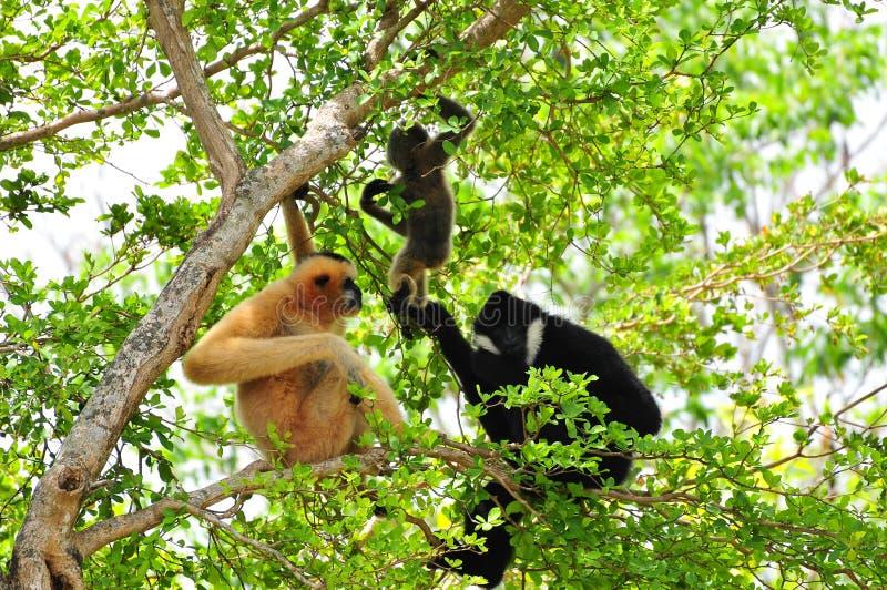 Famiglia dei gibboni bianco--cheeked in zoo fotografia stock libera da diritti