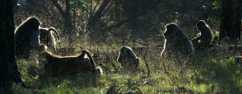 Famiglia del babbuino immagini stock