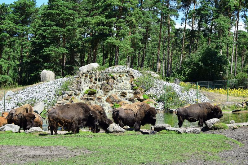 Famiglia del bisonte che pasce immagini stock