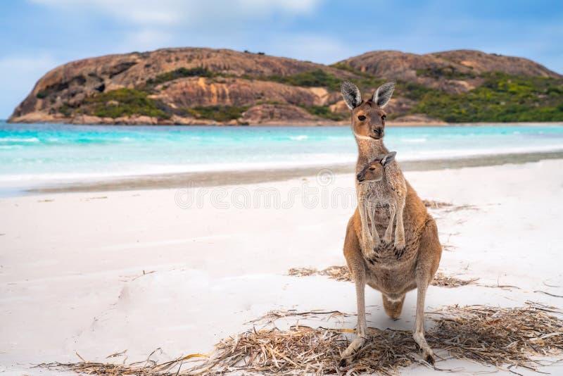 Famiglia del canguro in baia fortunata fotografie stock libere da diritti
