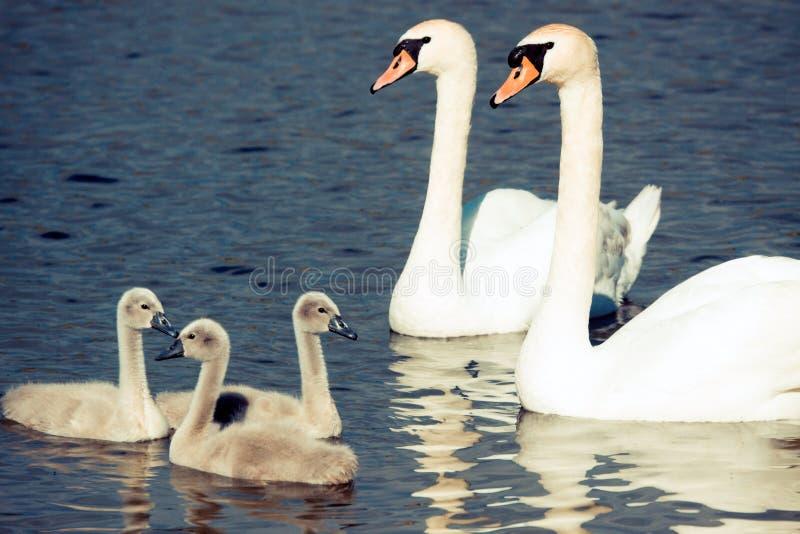 Famiglia del cigno immagine stock
