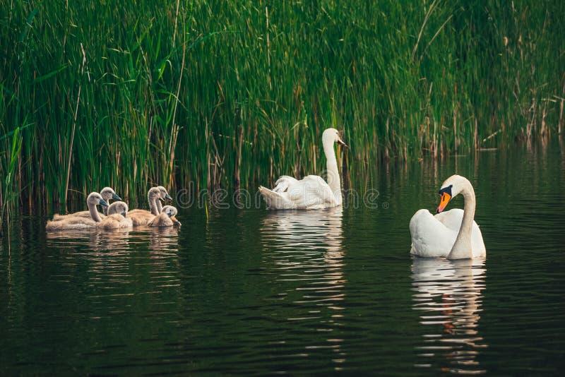 Famiglia del cigno sul lago immagini stock libere da diritti