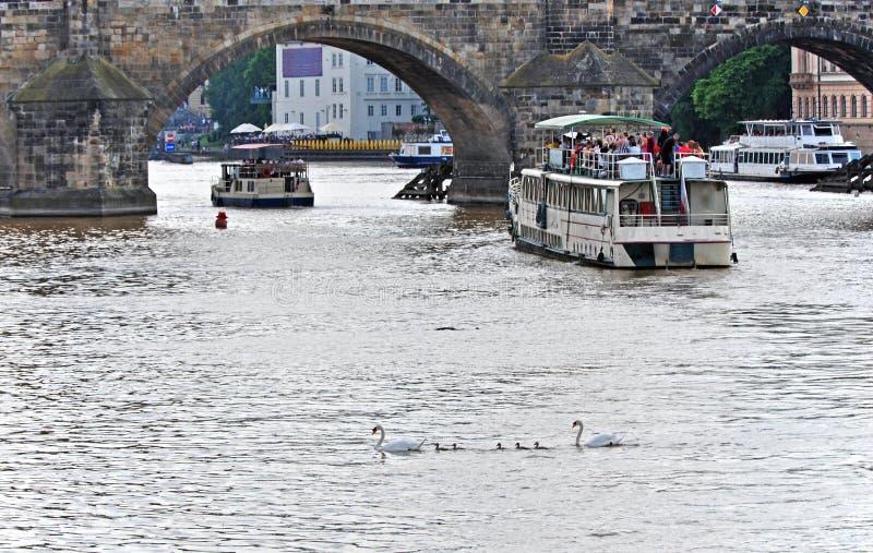 Famiglia del cigno sulla Moldava fra le navi da crociera sotto Charles Bridge Praga, repubblica Ceca immagini stock libere da diritti