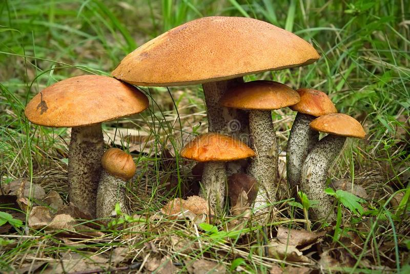 Famiglia del fungo di Aspen Grandi e piccoli funghi immagine stock