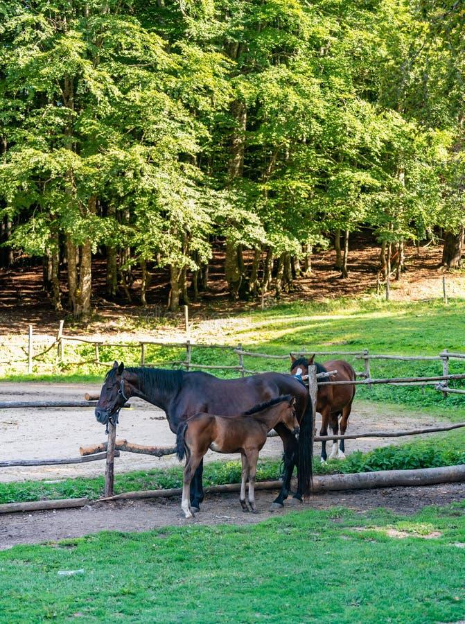 Famiglia del gruppo dei cavalli in stalle immagini stock