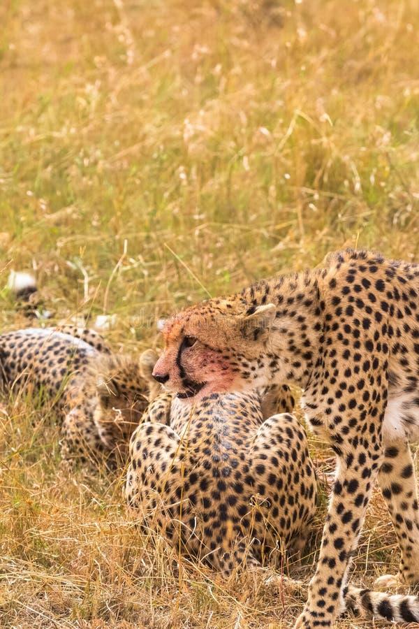 Famiglia del heetah del ¡ di Ð vicino alla preda Masai Mara, Kenia immagini stock