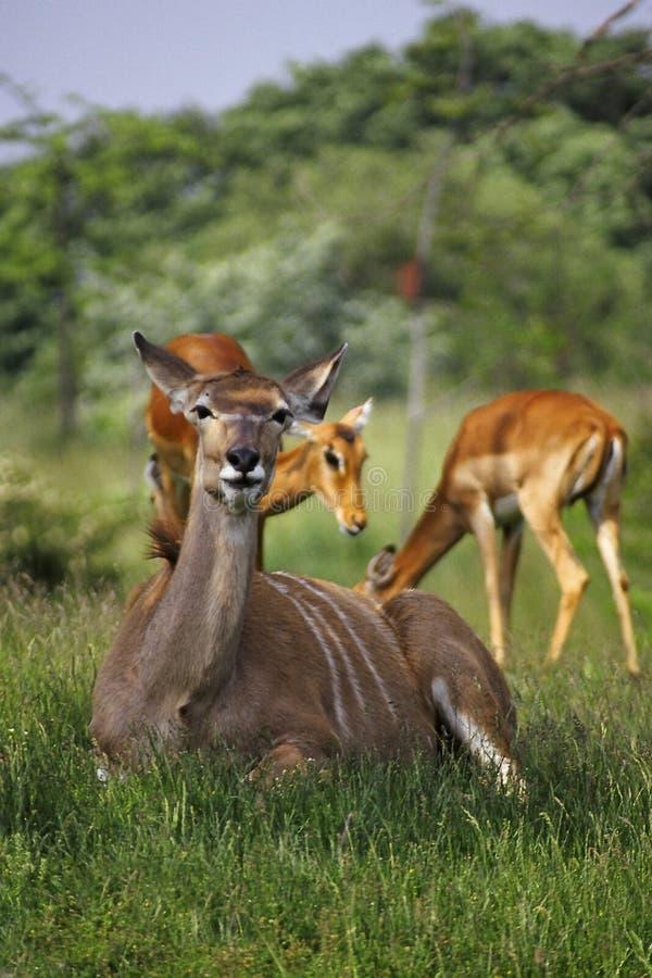 Famiglia Del Impala Immagini Stock Libere da Diritti