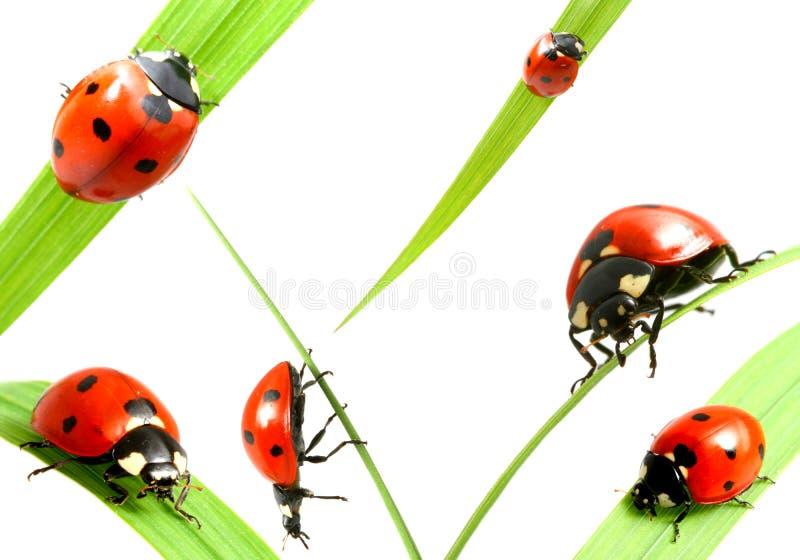 Famiglia del Ladybug fotografia stock libera da diritti