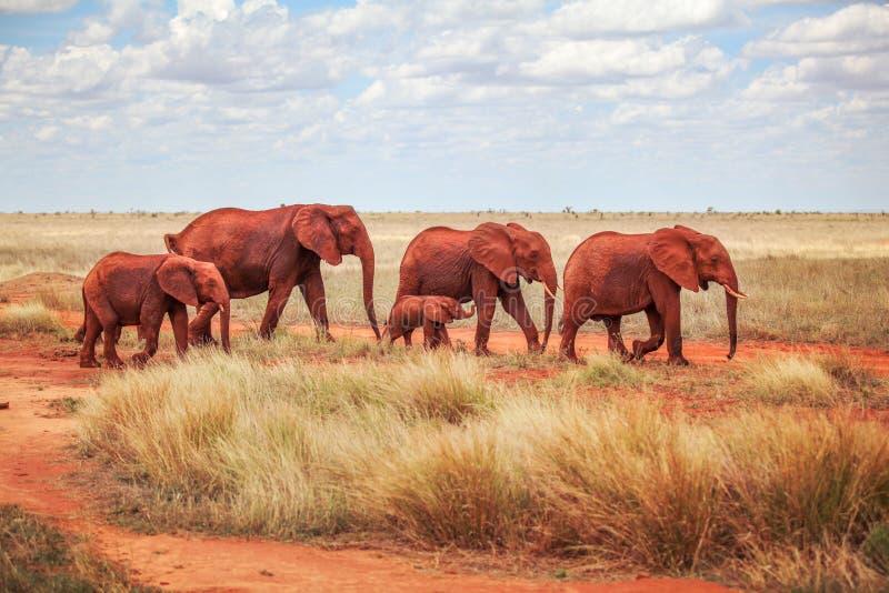 Famiglia del loxodonta africana africano degli elefanti del cespuglio, w coperto fotografia stock libera da diritti