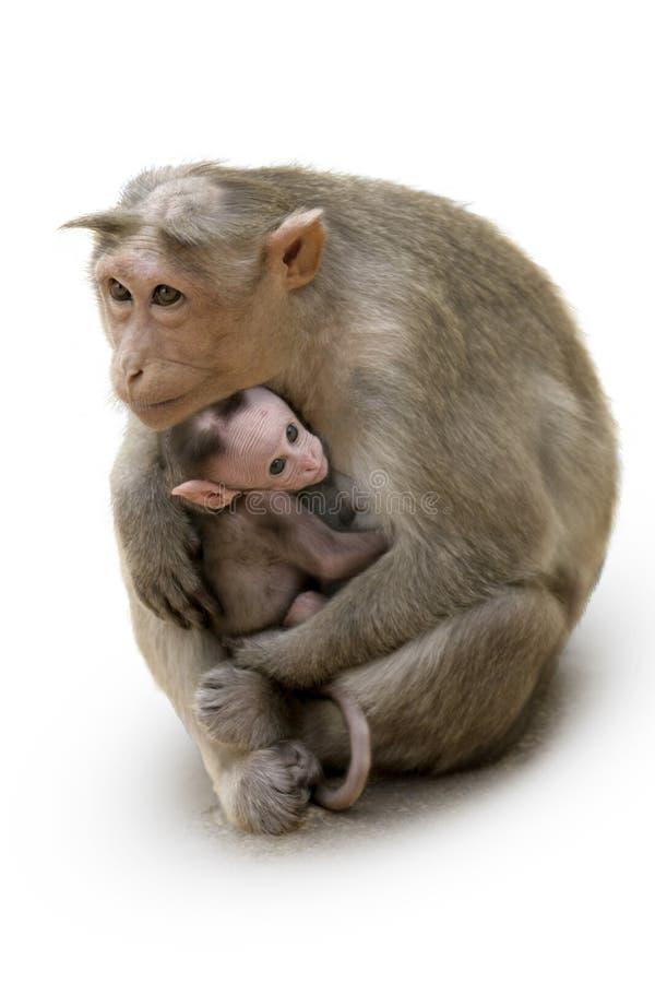 Famiglia del Macaca della scimmia in città indiana immagine stock libera da diritti