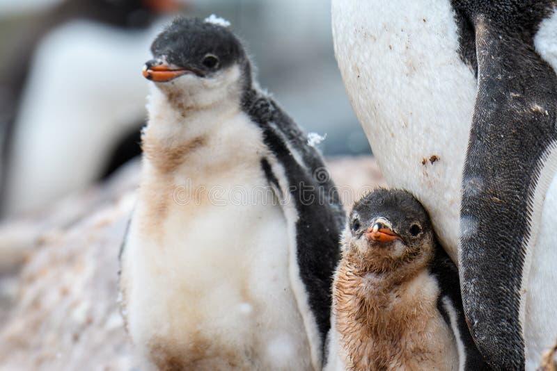 Famiglia del pinguino di Gentoo in una colonia di corvi, genitore e due pulcini, un pulcino con neve sui it's testa, Gonza immagini stock libere da diritti