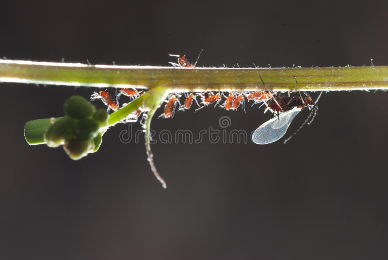 Famiglia dell'afide dell'insetto fotografie stock