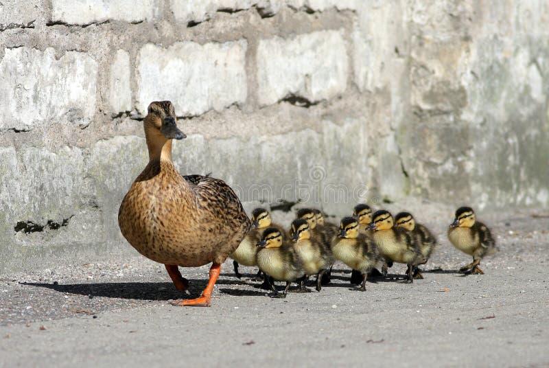 Famiglia dell'anatra immagine stock