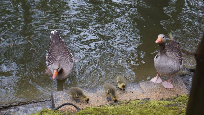 Famiglia dell'anatra nei genitori attenti dello stagno fotografia stock