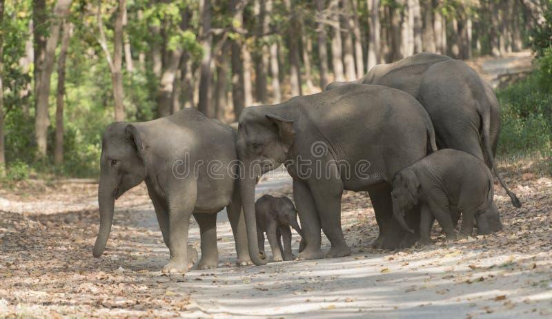 Famiglia dell'elefante che attraversa la strada principale immagini stock libere da diritti