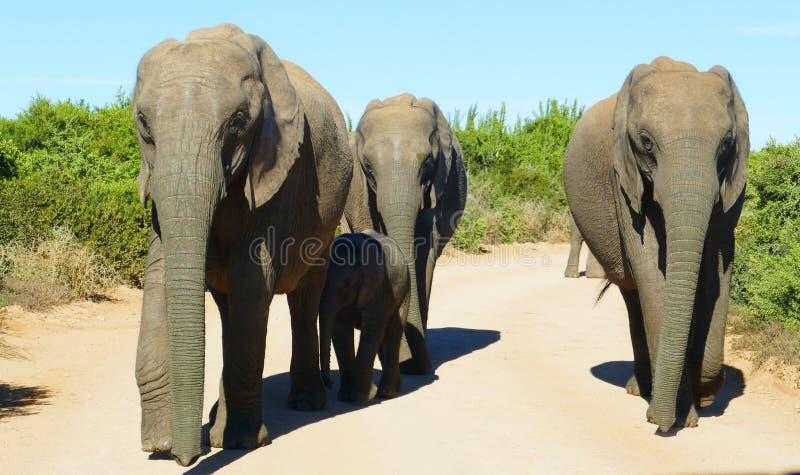 Famiglia dell'elefante che cammina verso l'automobile immagine stock