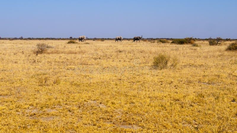 Famiglia dell'elefante nel Botswana, Africa immagini stock libere da diritti