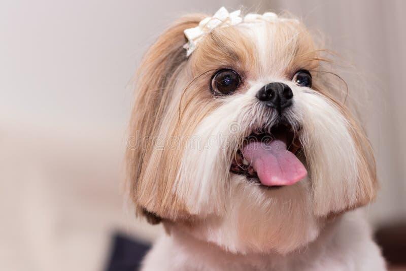 Famiglia dell'infatuazione del cane di animale domestico di Shihtzu fotografie stock