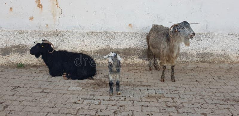 Famiglia della capra sulla strada immagini stock