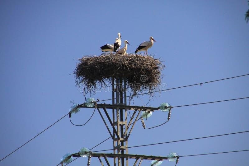 Famiglia della cicogna che vive nel nido sul palo elettrico contro il cielo blu in Andalusia, Spagna fotografia stock