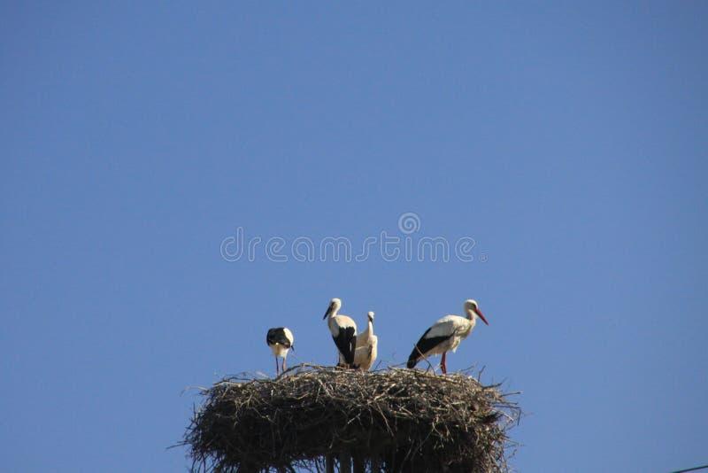 Famiglia della cicogna che vive nel nido sul palo elettrico contro il cielo blu in Andalusia, Spagna fotografie stock