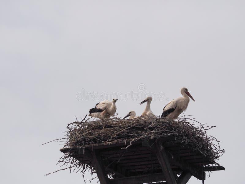 Famiglia della cicogna nel nido fotografia stock libera da diritti