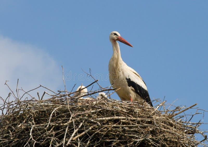 Famiglia della cicogna in nido immagine stock