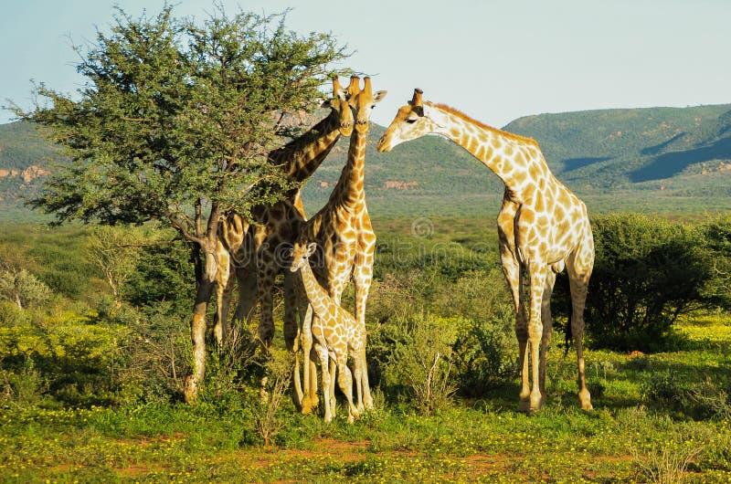 Famiglia della giraffa immagine stock libera da diritti