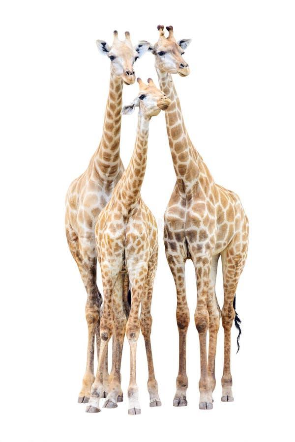 Famiglia della giraffa isolata fotografia stock