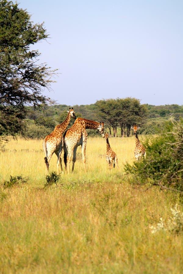 Famiglia della giraffa nel Botswana fotografia stock libera da diritti