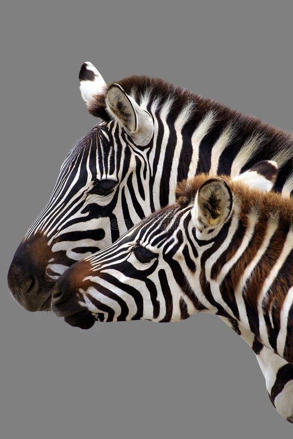 Famiglia della zebra fotografia stock