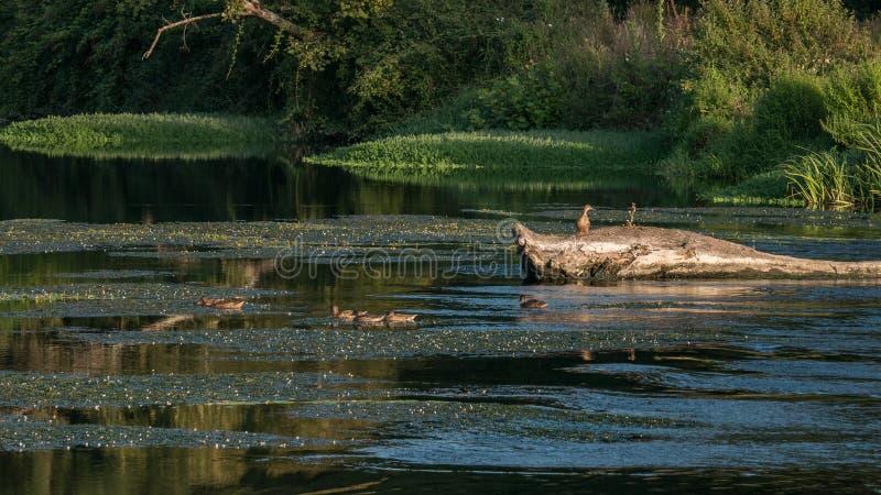 Famiglia delle anatre selvagge del germano reale che si alimentano il fiume del viale, Vila do Conde nel Portogallo al crepuscolo fotografia stock libera da diritti