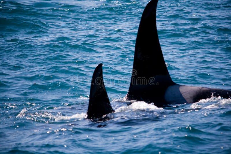 Famiglia delle balene selvagge dell'orca immagine stock libera da diritti
