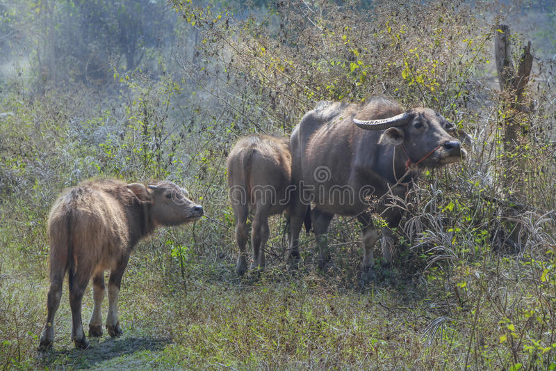 Famiglia delle Buffalo in Chiang Dao fotografia stock libera da diritti