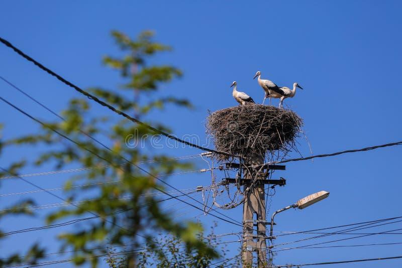 Famiglia delle cicogne che vivono su un nido che hanno fatto sopra un palo dell'elettricità in una zona rurale della Romania Anim fotografia stock