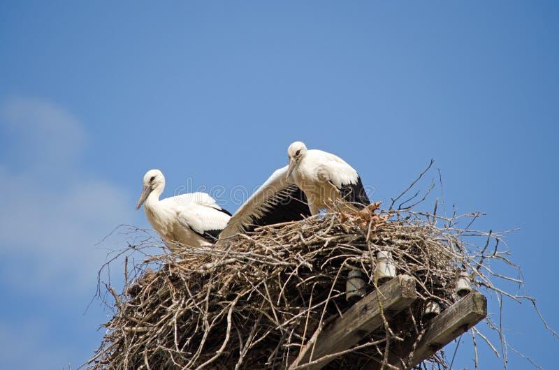 Famiglia delle cicogne nel nido immagini stock