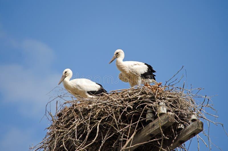 Famiglia delle cicogne nel nido fotografia stock libera da diritti