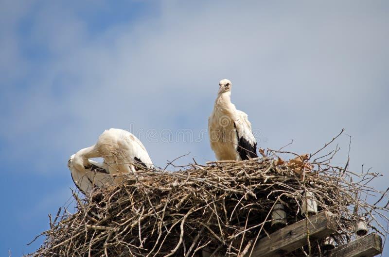 Famiglia delle cicogne nel nido fotografie stock