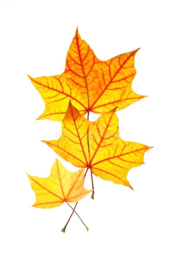 Famiglia delle foglie di acero immagini stock libere da diritti