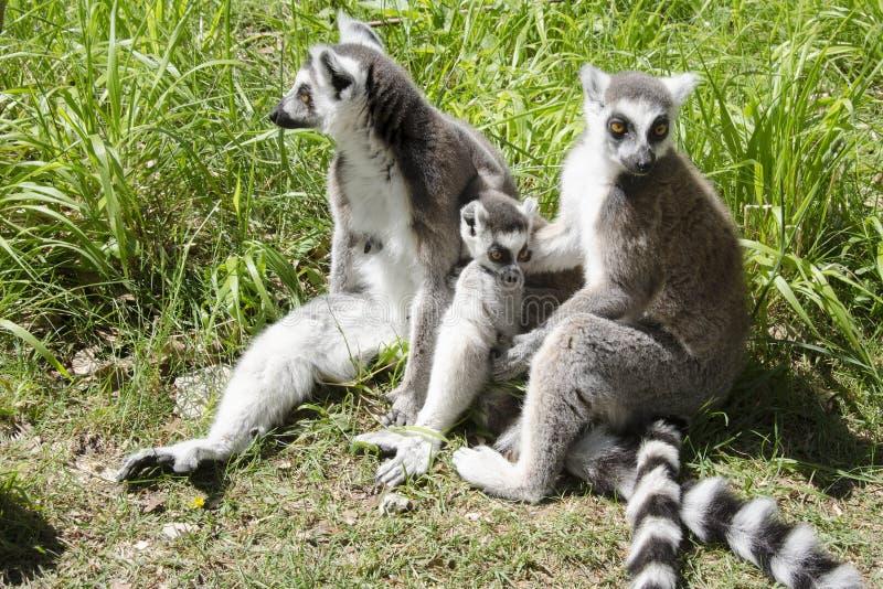 Famiglia delle lemure catta fotografie stock libere da diritti