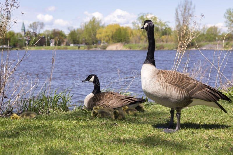 Famiglia delle oche del Canada con la guardia diritta maschio sopra femminile ed i suoi pulcini fotografia stock libera da diritti