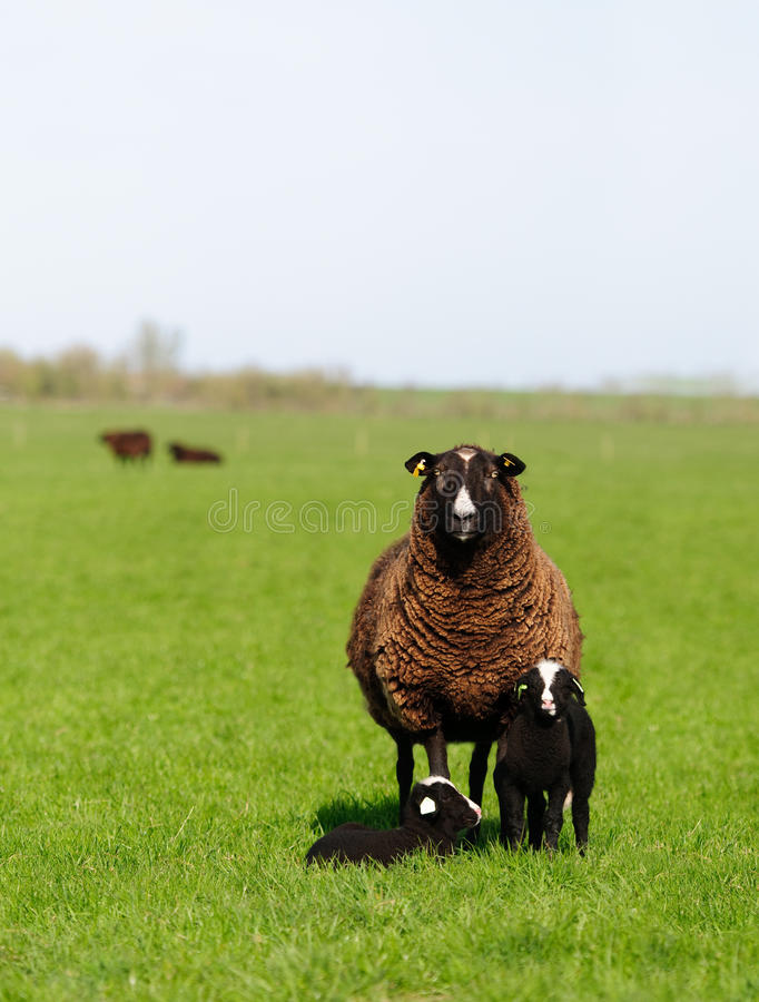 Famiglia delle pecore immagine stock libera da diritti