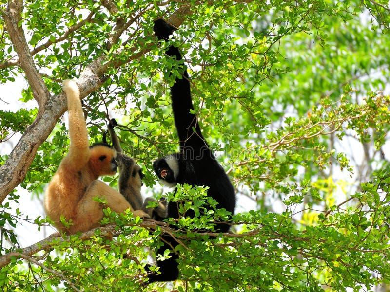Famiglia delle scimmie bianco--cheeked del gibbone in zoo immagine stock libera da diritti