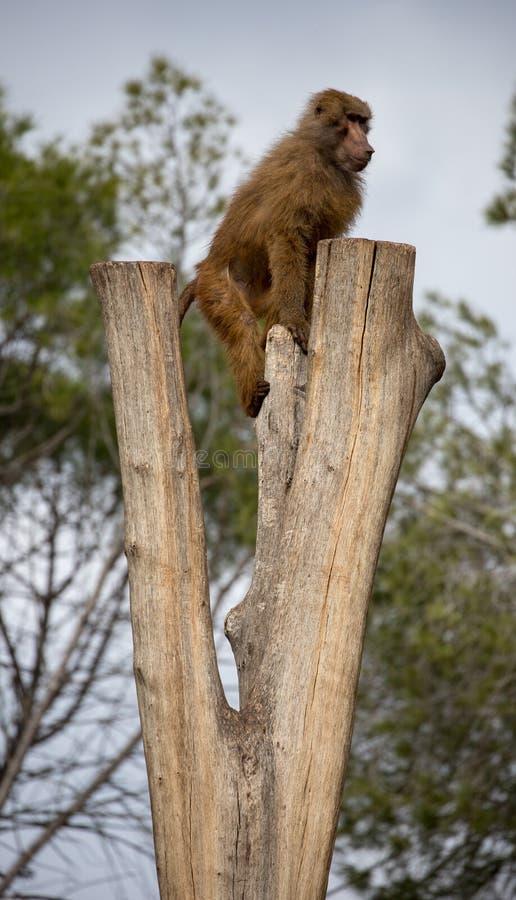 Famiglia delle scimmie del babbuino che giocano nel gruppo fotografia stock